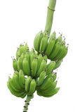 Bananas. Hanging from the tre isolated on white Royalty Free Stock Images