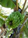 Bananas foto de stock royalty free