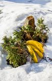Bananas and apples on snow with juniper stock image