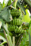 Bananas. Banana plants are useful in food. Can be taken orally. Or do many other things Stock Images