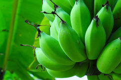 Bananas on a banana tree Royalty Free Stock Image