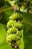 Bananas on a banana tree Stock Image