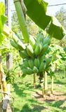 Bananas on a banana tree. Bananas in the jungle close up Stock Photos