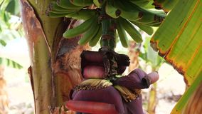Blooming bananas on Tenerife Banana plantation. Huge red banana flower. Green bananas growing on a tree. Bananas are blooming bananas. To grow yellow ripen on stock video footage