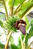 Bananas blossom Stock Photos