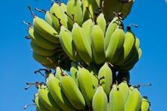Bananas in the blue sky. Green bananas in banana plantation against blue sky Stock Images