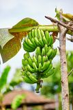 Bananas on a branch in Bali, Indonesia Royalty Free Stock Images