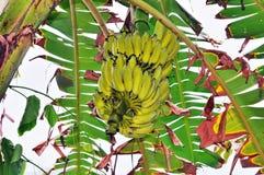 Bananas on a branch among green foliage Stock Image