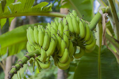Bananas on a branch green Stock Photography
