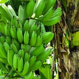 Bananas bunch Royalty Free Stock Photo