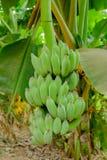 Bananas cruas em uma árvore de banana Fotografia de Stock