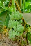 Bananas cruas em uma árvore de banana Fotografia de Stock Royalty Free