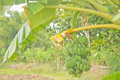 Bananas cruas na árvore Imagens de Stock