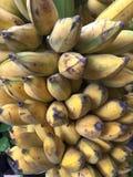 Bananas cultivadas maduras Imagem de Stock