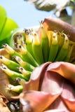 Bananas do bebê que crescem - profundidade de campo rasa Foto de Stock