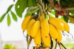 Bananas em um fundo branco do estúdio Fotografia de Stock Royalty Free