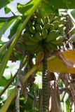 Bananas em uma ?rvore fotografia de stock royalty free