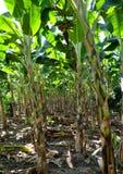 Bananas farmers Thai Stock Photo