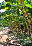 Bananas farmers Thai Royalty Free Stock Photography