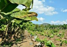 Bananas farmers Thai Royalty Free Stock Images