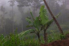 Bananas in the fog stock image