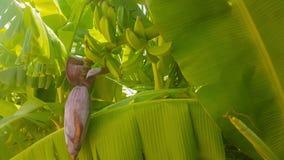 Bananas frescas em uma árvore vídeos de arquivo