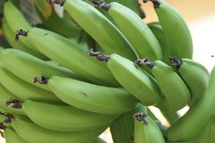 Bananas. Green asian bananas on the tree, Indonesia Stock Image