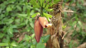 Banana Tree Inflorescence Farming HD Footage. Bananas growing in a field being blown in the wind on banana tree plantation farmland in central Vietnam, high stock video footage