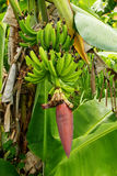 Bananas growing in a jungle Stock Image