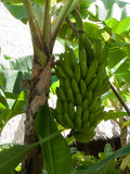 Bananas growing in Maui jungle Royalty Free Stock Photos