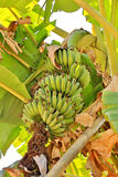Bananas, growing in the subtropical jungle in the mountains of t Royalty Free Stock Photo