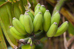 Bananas growing on a tree. A bunch of green bananas growing on a tree. Selective focus on closest fruit Stock Photo