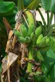 Bananas growing on a tree Stock Image