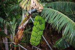 Bananas are grown in big bunches in Tenerife, Spain stock photography