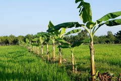 Bananas grown in a row according to a rice paddy Stock Images