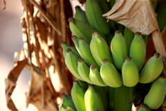 Bananas hanging in the plant. Green bananas hanging in the plant Stock Images