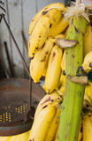 Bananas hanging on their stem Stock Images