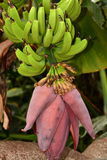 Bananas hanging from vine. Stock Photos