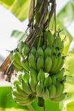 Banana tree with bunch of green growing raw bananas Stock Photos