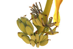 Bananas isolated Stock Image