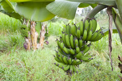 Bananas in Kenyan garden Royalty Free Stock Image