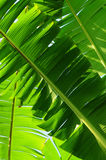 Bananas Leaf Royalty Free Stock Images