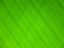 Bananas leaf Royalty Free Stock Photos