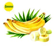 Bananas with leaves. Bunches of fresh banana fruits on a white background, a collection of raster illustrations royalty free illustration