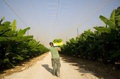Bananas levando de um homem em uma plantação Imagens de Stock