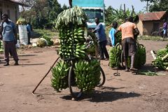 Bananas loaded on a bicycle in a village in Uganda royalty free stock image