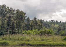 Bananas and maize plantation. Located in kenya. The trees are behind on a cloudy day Royalty Free Stock Photo