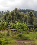 Bananas and maize plantation. Located in kenya. The trees are behind on a cloudy day. It is an image vertically Stock Images