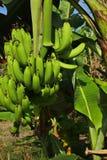 Bananas na árvore imagem de stock
