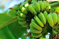 Bananas na árvore fotografia de stock